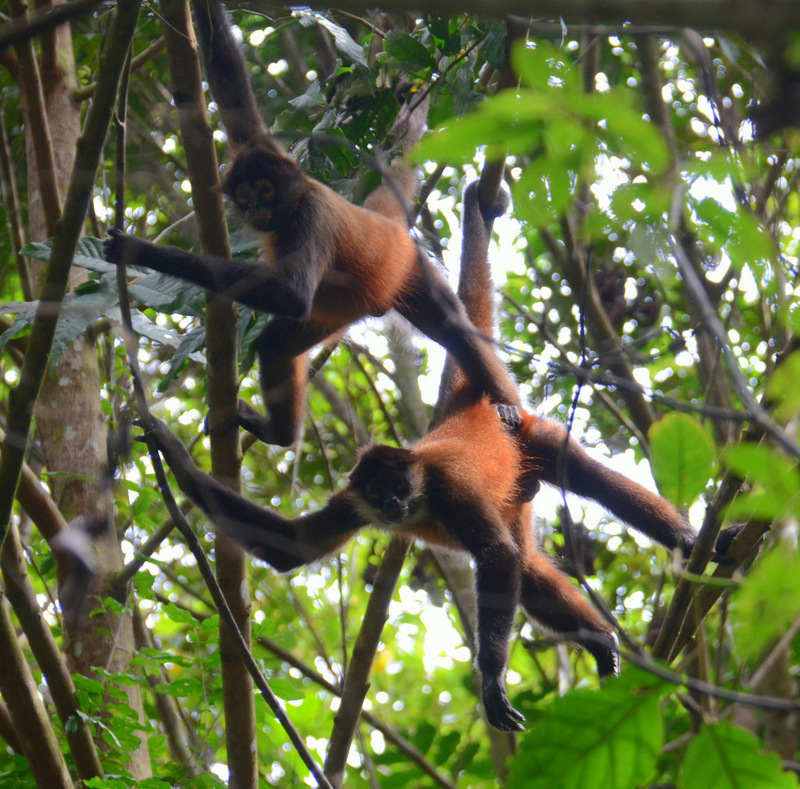 Image result for costa rica monkeys and fruit