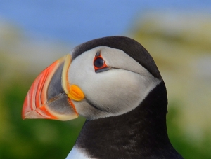 Atlantic puffin Machias Seal Island