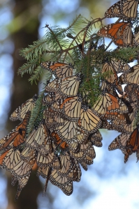 monarch butterfly guided tour in Mexico Reefs to Rockies