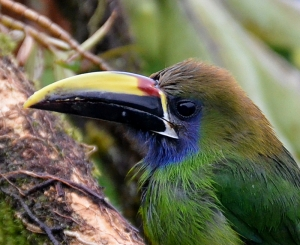 guided birding tours Costa Rica