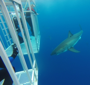 Cage diving with great white sharks, Guadalupe Island, Mexico