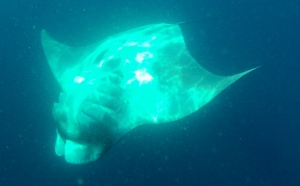 Swimming with manta ray - Mexico