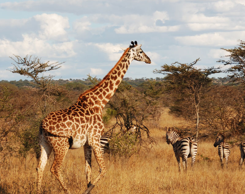 Giraffe-and-zebras