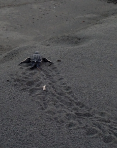 Leatherback sea turtle hatchling in Costa Rica.