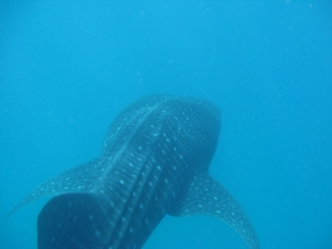 Swimming with whale sharks - Tofo, Mozambique