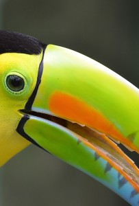 Keel-billed-toucan-portrait-203x300