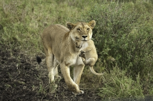Lion and cub on safari