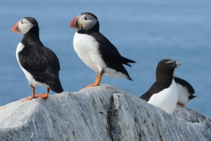 Puffins and razorbill - Machias Seal Island
