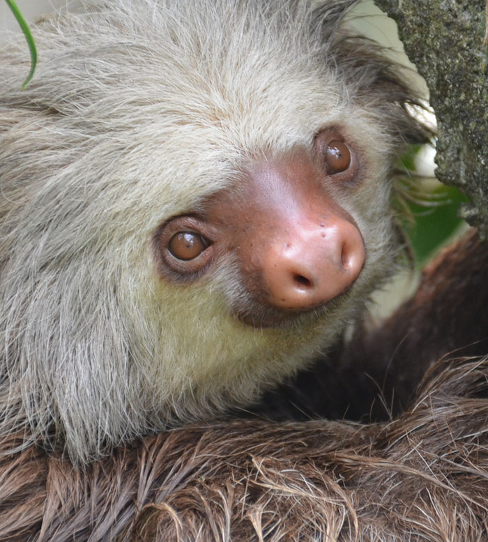 Two-toed-sloth6