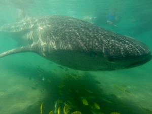 swimming with whale sharks Sea of Cortez, Mexico