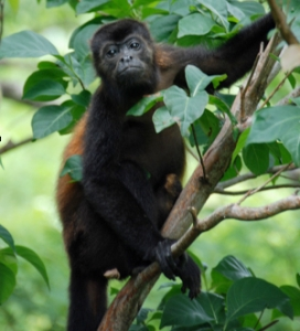 Howler monkey - Central America
