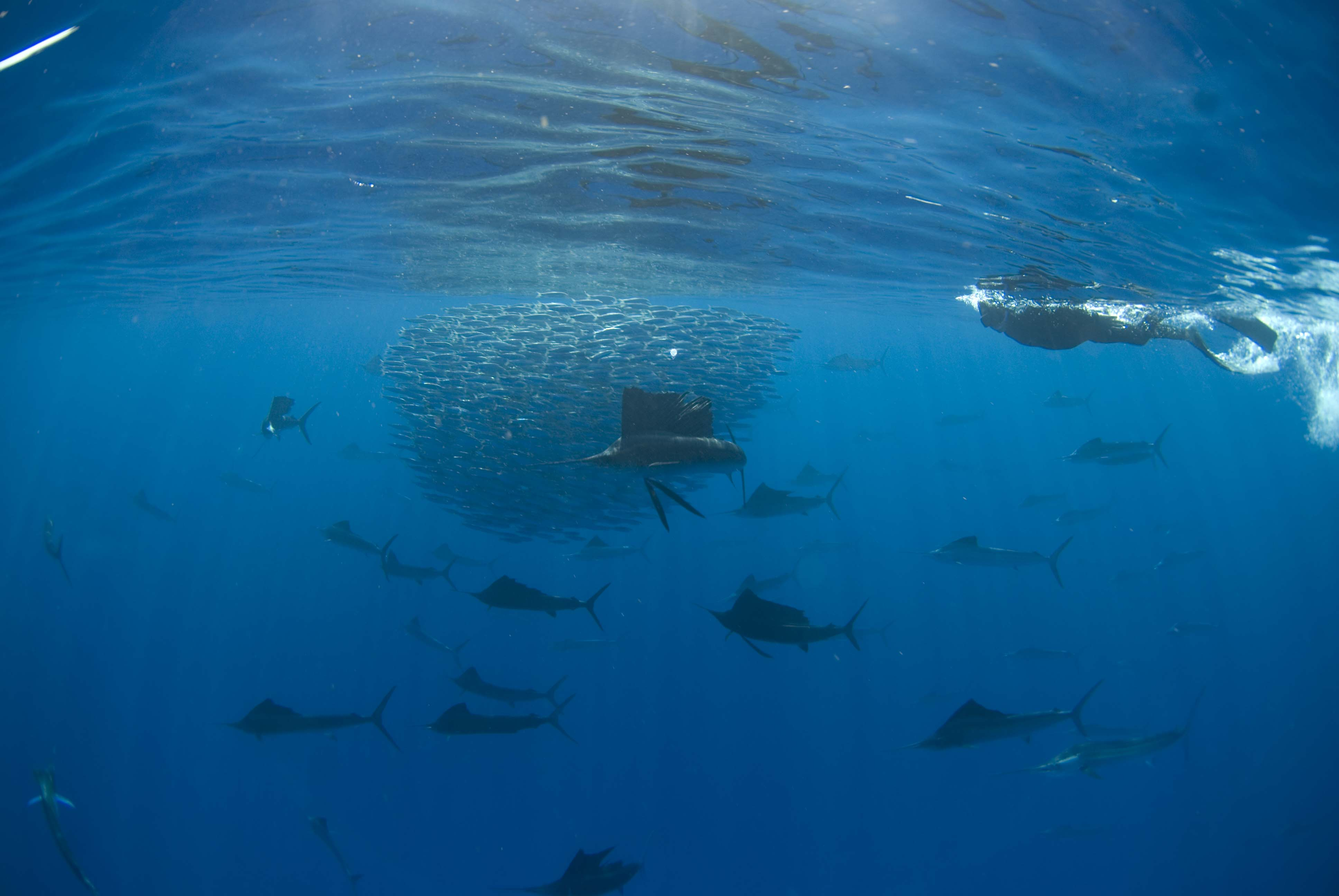 Swimming with sailfish isla mujeres reefs to rockies for What is the fastest swimming fish