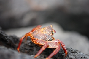 Sally lightfoot crab, Galapagos, Ecuador