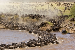 Wildebeest Migration Kenya safari