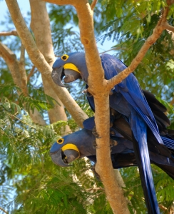 April - Hyacinth macaws, Brazil.