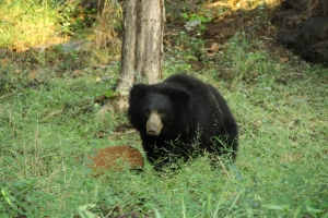 October - Sloth bear, India.