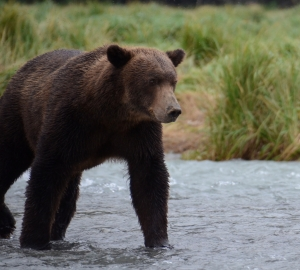 September - Brown bear, Alaska.