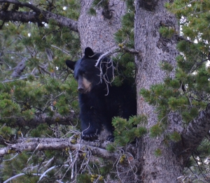 September - Black Bear, Yellowstone National Park.