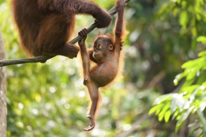 Baby Orangutan Playing