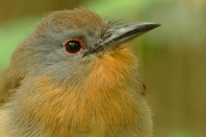 guided birding tours Panama