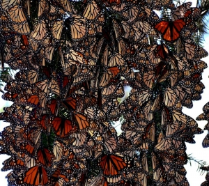monarch butterfly tours