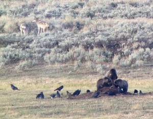 Female grizzly + three cubs on bison carcass in Lamar Valley.