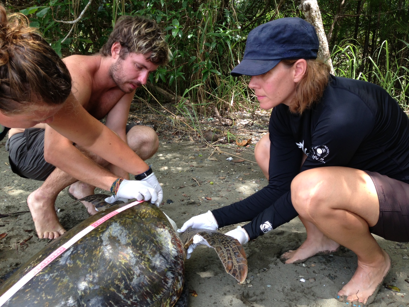 Working with a green sea turtle after it was captured in Golfo Dulce.