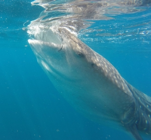 August - Whale shark, Isla Mujeres, Mexico.