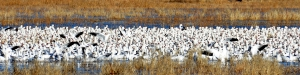 Several hundred (give or take a few) snow geese at Bosque del Apache National Wildlife Refuge.