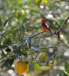 birding Belize guided ecotours