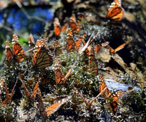 Monarch butterflies clustered in lichen-covered bark of an oyamel fir.