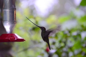 Sword-billed hummingbird visiting a feeder at Guango Lodge in Ecuador.