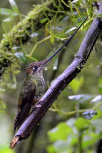 Sword-billed hummingbird at rest.