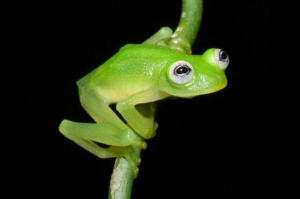 Newly discovered Diane's Bare-hearted Glassfrog bears a striking resemblance to Kermit the Frog. ©Brian Kubicki of the Costa Rican Amphibian Research Center (www.cramphibian.com)