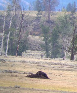 Male grizzly bear sleeping on/ defending a bison carcass in Lamar Valley, Yellowstone National Park.