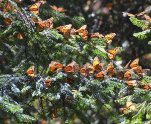 February - Monarch butterflies at Piedra Herrada Sanctuary, Mexico.
