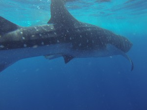 swimming with whale sharks eco tour conservation
