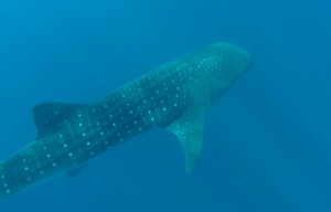 August: Swimming with whale sharks near Isla Mujeres.
