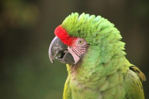 great green macaw costa rica birding eco tours Reefs to Rockies