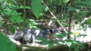 Baird's tapir resting in the shade - Corcovado National Park, Costa Rica. (Please excuse the blurry image.)