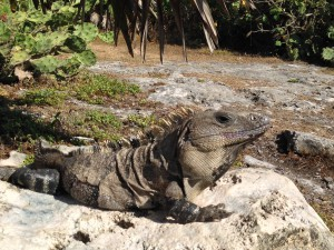 One of many iguanas seen at Tulum.