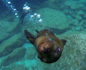 March: Swimming with sea lions at Los Islotes, Sea of Cortez, Mexico.