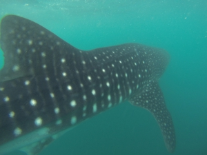 Swimming alongside a whale shark - La Paz Bay, Baja Sur, Mexico.