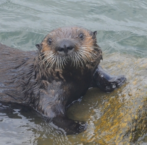 October - Sea otter, Monterey Bay, California.