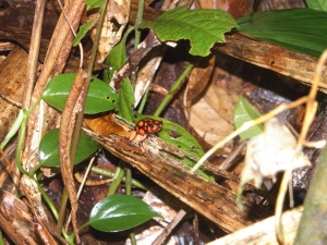 Spotting a harlequin poison frog, a notable endemic in Colombia's Choco department.
