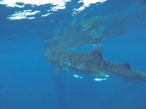 Whale shark feeding at the surface off the coast of Isla Mujeres, Mexico.