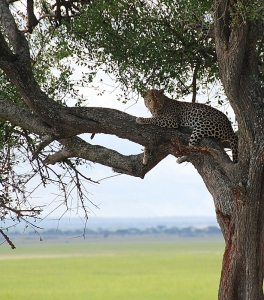 Leopard spotted on safari at Tarangire National Park in Tanzania.