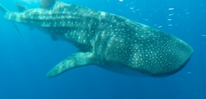 Swimming with whale sharks - Isla Mujeres, Mexico.