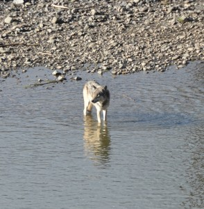 Member of the Junction Butte wolf Pack in Lamar Valley.