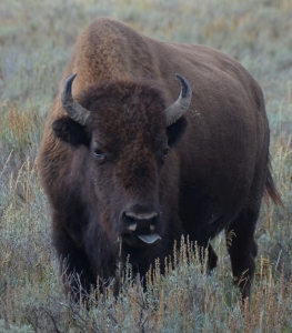 Yellowstone bison - SS